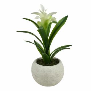 Billbergia in White Pot