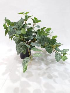 Fittonia Trailing Plant