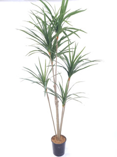 Yucca Tree (6ft)