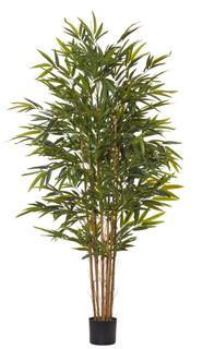 Common Bamboo Tree (6ft)