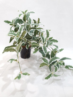 Frosted Salvia Trailing Plant