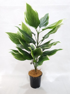 Cordyline Plant (32in) [Green+Yellow]