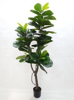 Fiddle Fig (6ft)
