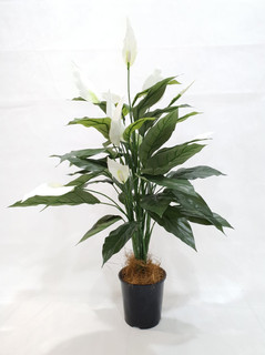 Peace Lily (3ft)