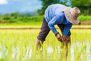 米作り_shutterstock_221438830.jpg