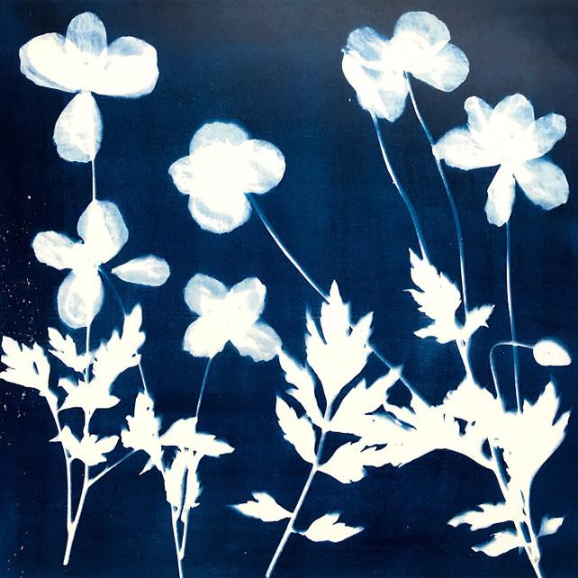 'Poppies' (Cyanotype)