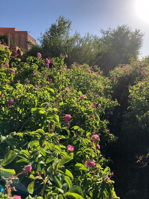Morocco RoseField