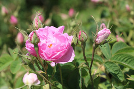 Turkey Rose