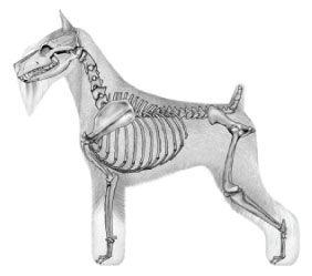 standard_schnauzer_skeleton.jpg