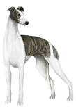 whippet_body.png