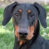Doberman Dog DCM