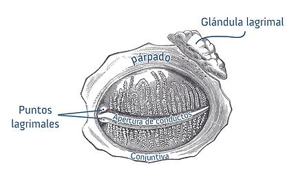 Glandulas lagrimales