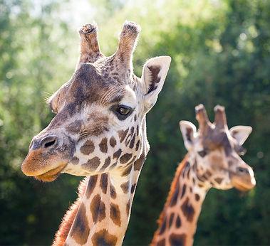 giraffe-pair-cd690b81e071bc1f085c479b300