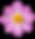 pink cosmos flower_ulamraja.png
