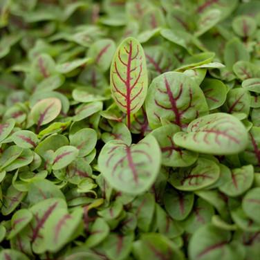Citizen Farm's Microgreens