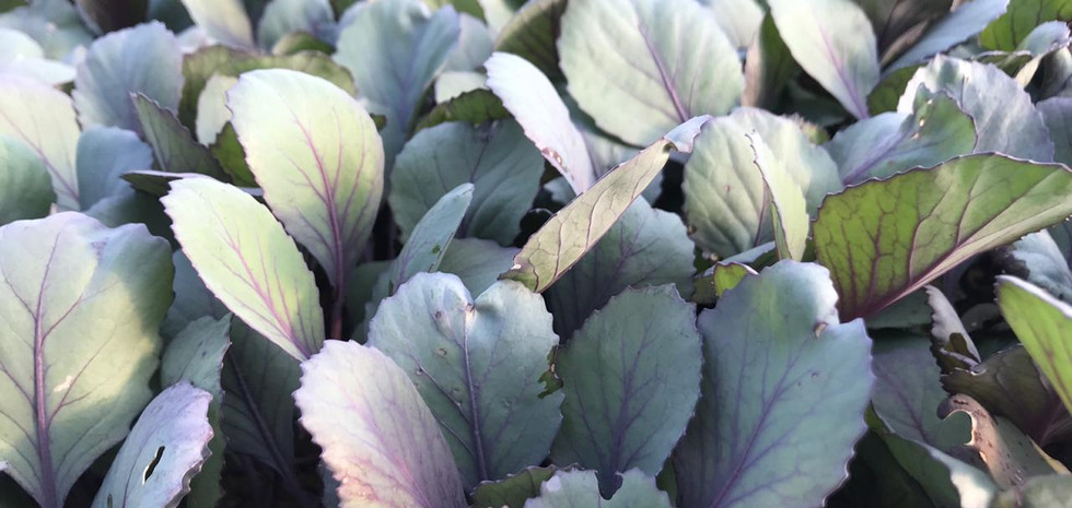Plantines de repollo Morado