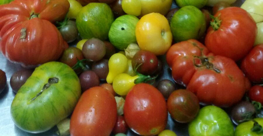 Cosecha Tomates