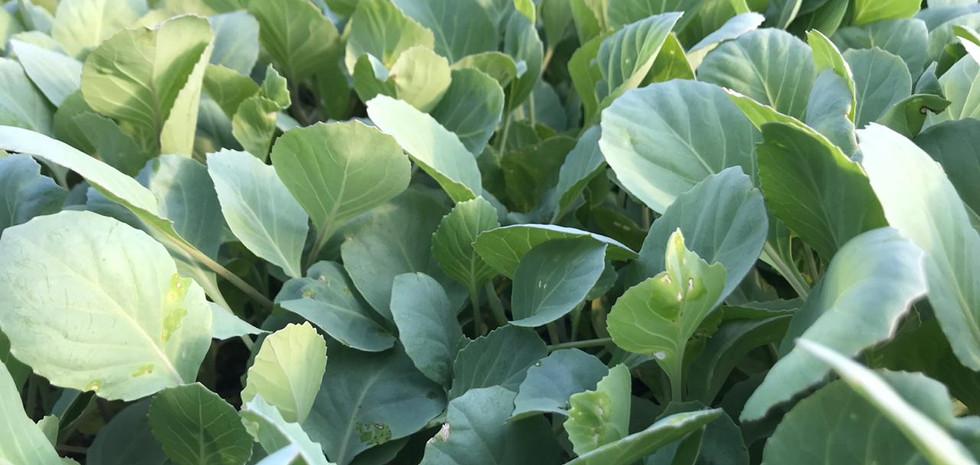 Plantines de repollo blanco