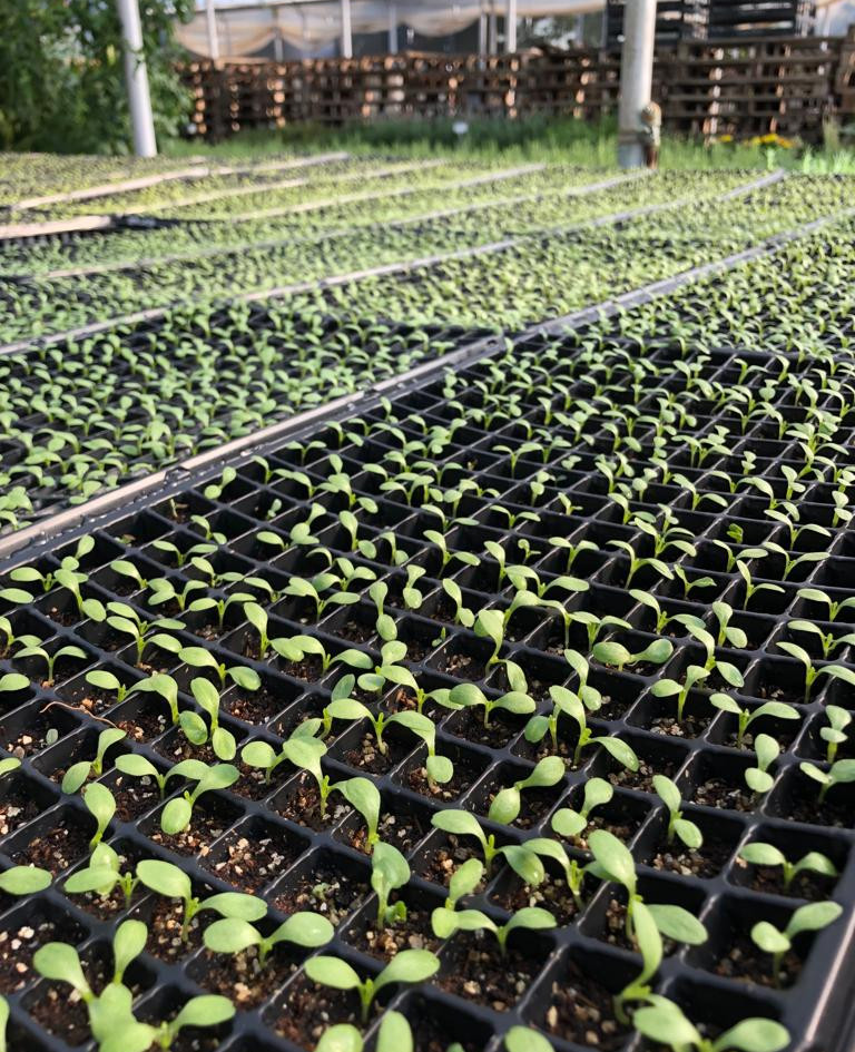 Plantines de lechuga