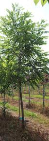 Black Walnut(Juglans nigra)