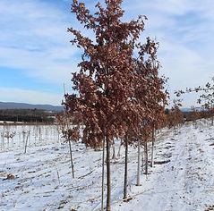 White Oak .JPG