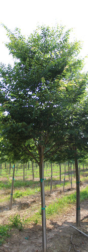 Wireless Zelkova(Zelkova serrata)