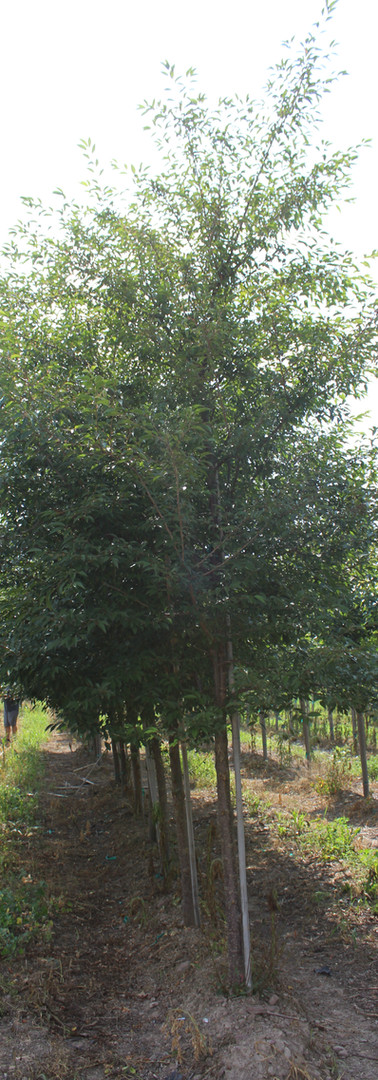 Okame Cherry(Prunus x incamp 'Okame')