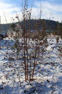 Dura Heat Birch