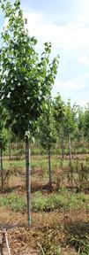 Ivory Silk Lilac(Syringa reticulata )
