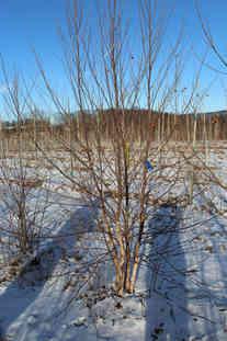 Heritage River Birch