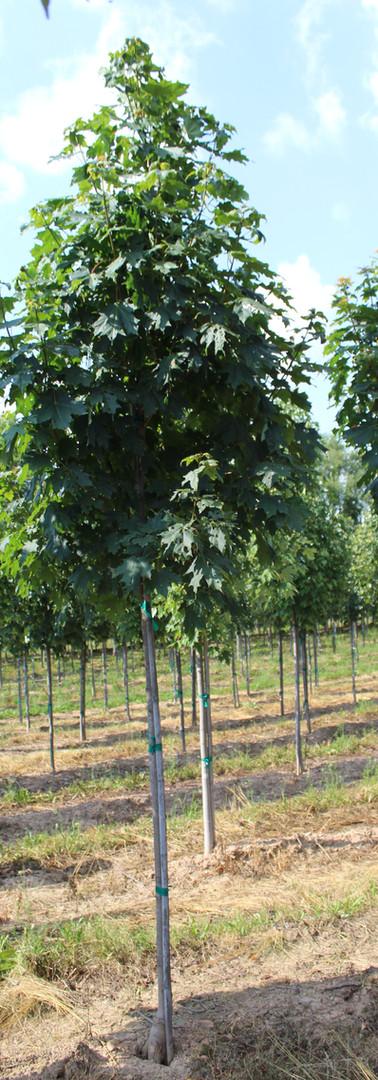 Green Mountain Sugar Maple(Acer saccharum)