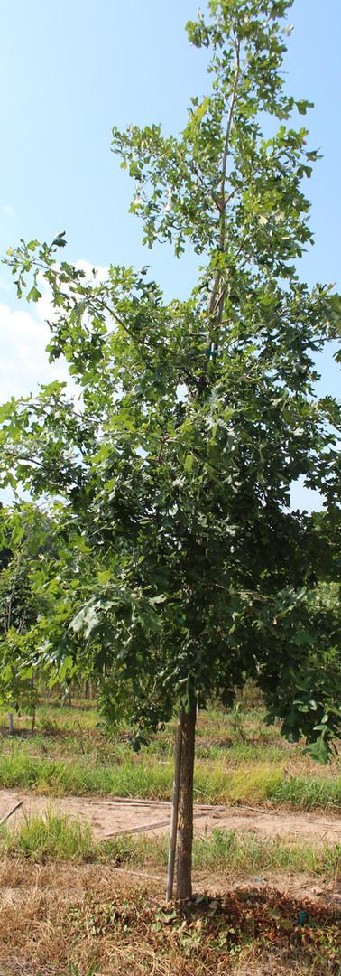 Bur Oak(Quercus macrocarpa)