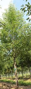 Aristocrat Pear(Pyrus calleryana)