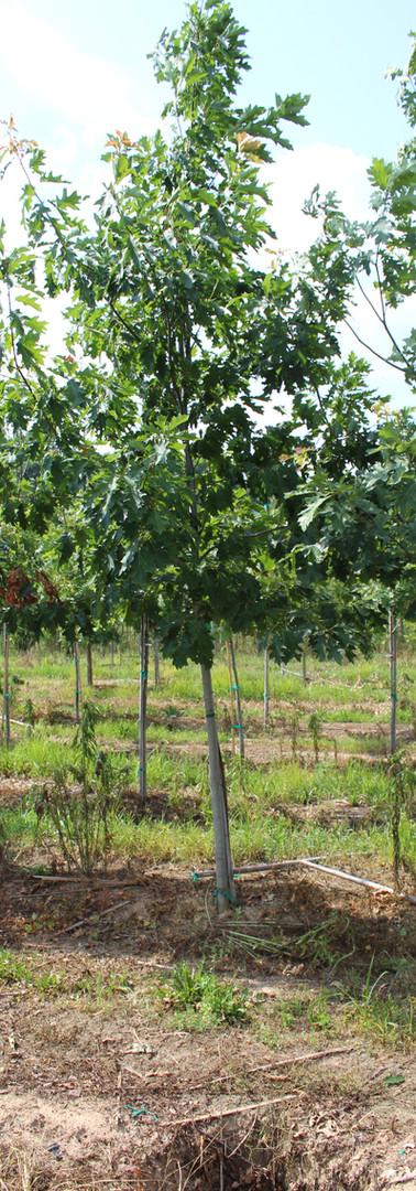 Red Oak(Quercus rubra)