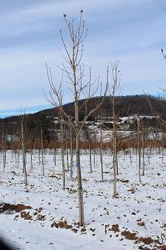 Green Mountain Suagar Maple.JPG