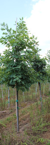 White Oak(Quercus alba)