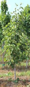 Galaxy Magnolia(Magnolia x 'Galaxy')