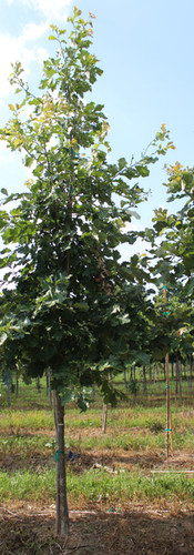 Swamp White Oak(Quercus bicolor)