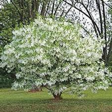 Fring tree.jpg