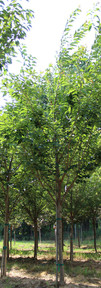 Kwanzan Cherry(Prunus serrulata 'Kanzan')