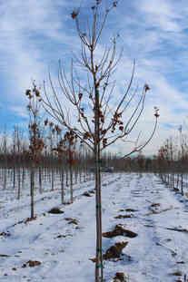 Commemoration Sugar Maple