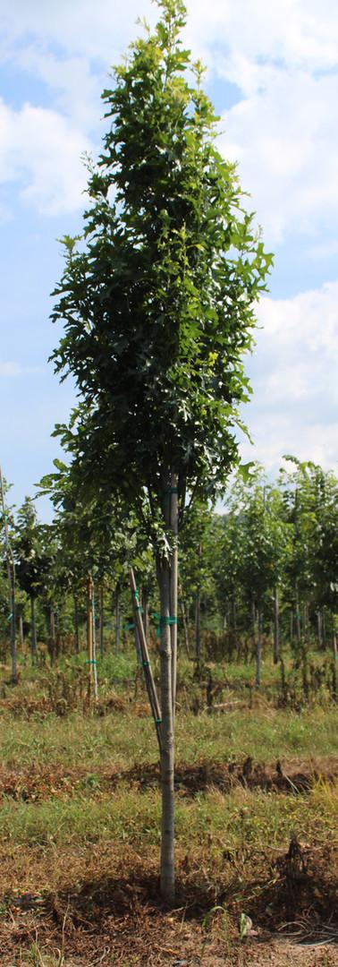 Green Pillar Oak(Quercus palustris)