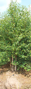 Dura Heat Birch(Betula nigra)