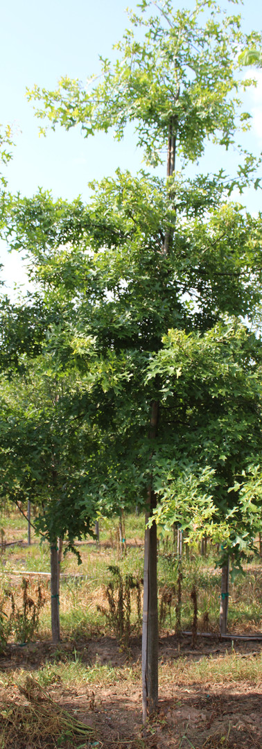 Scarlet Oak(Quercus coccinea)