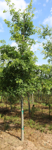 Pin Oak(Quercus palustris)