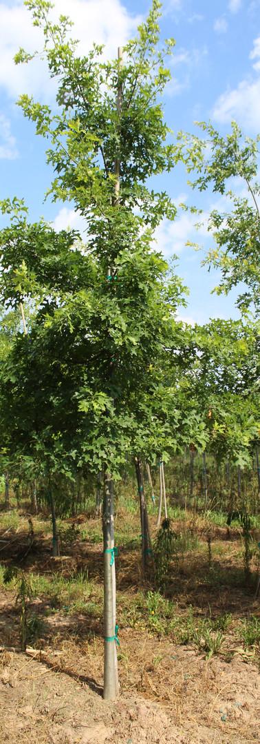 Pin Oak(Quercus palustris)