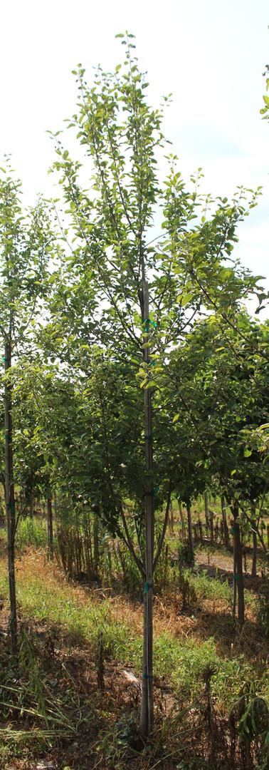 McIntosh Apple(Malus domestica 'McIntosh')