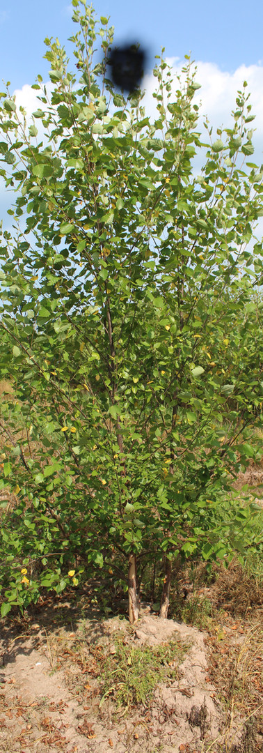 Heritage Birch(Betula nigra 'Cully')