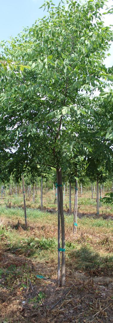 Kentucky Coffee Tree(Gymnocladus dioica)