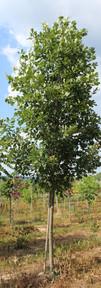 Heritage Oak(Quercus robur x macrocarpa 'Clemons')
